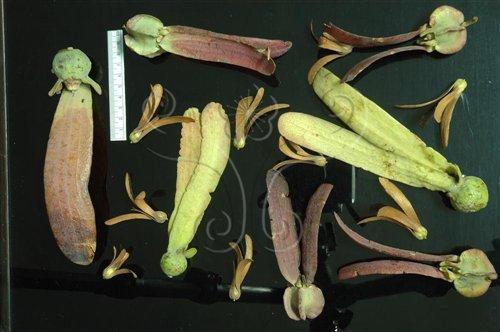 具有兩枚長果翅是龍腦香科種子非常明顯的特徵