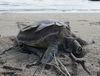 頭頸有尼龍網線纏繞的海龜遺體