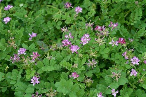 紫雲英花色淡雅,令人賞心悅目