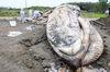 經過兩天的努力,擱淺在台東海灘的藍鯨被運到台南