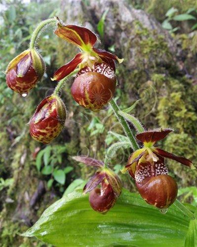 在原生環境中盛開的暖地杓蘭花朵