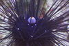 海膽頂端淡藍色球狀的是乳肛突,橘色中央的黑色點是肛門開口