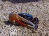 招潮蟹是螯足二型性的經典範例。圖為四角丑招潮