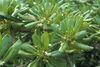 在海邊生長的草海桐,因受風的關係,葉片常向內捲。