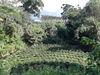 位在南投魚池鄉的有機茶園(臺茶十八號)