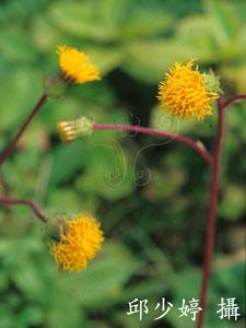 白鳳菜Gynura divaricata subsp. formosana