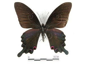 <i>Papilio dialis tatsuta</i> Murayama, 1970台灣烏鴉鳳蝶
