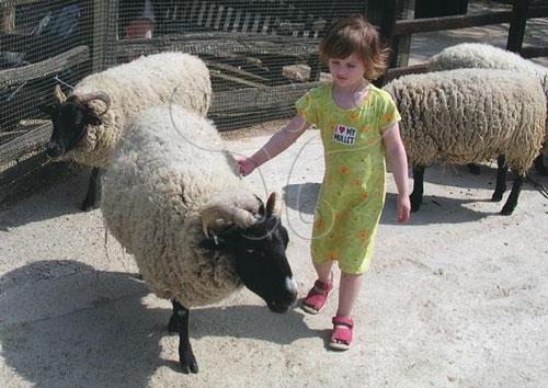 伦敦动物园可爱动物区的羊