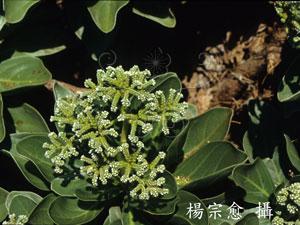 白水木&&Tournefortia argentea