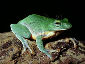 台北樹蛙&&Taipei treefrog