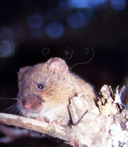 高山田鼠&&Kikuchii's field vole