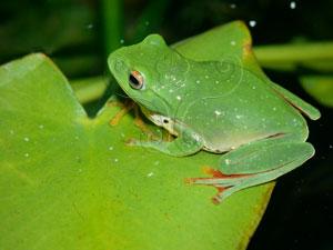 莫氏樹蛙&&Moltrechti's green treefrog