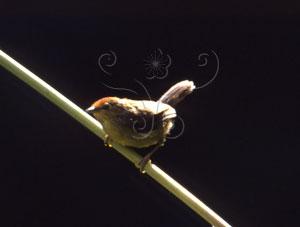 山紅頭&&Formosan Red-headed Babbler