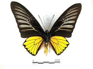 <i>Troides magellanus sonani</i> Matsumura, 1932&&珠光鳳蝶
