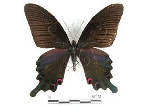 <i>Papilio dialis tatsuta</i> Murayama, 1970&&台灣烏鴉鳳蝶