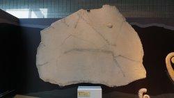 鱟魚足跡化石