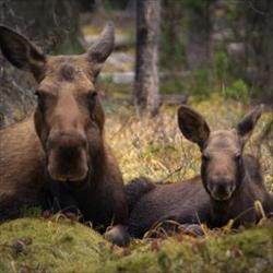 16麋鹿初生一年