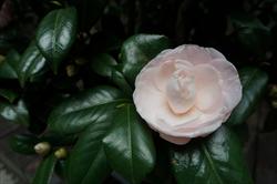 茶花(品種:艾斯裘比莉)