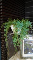 入作品植物-藍地柏